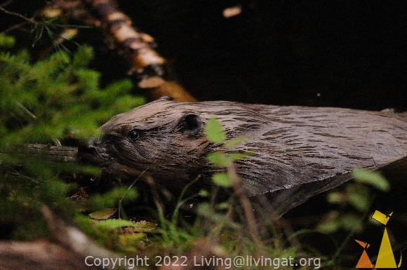 A beaver at my feet, Landet, Sweden, animal, wild, mammal, Beaver, Castor fiber, European beaver