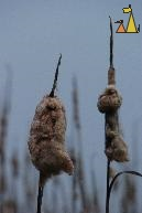 Autumn morning, Angarn, Sweden, plant, Common Cattail, Typha angustifolia