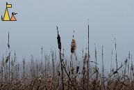 Autumn morning, Angarn, Sweden, plant, mist, Common Cattail, Typha angustifolia