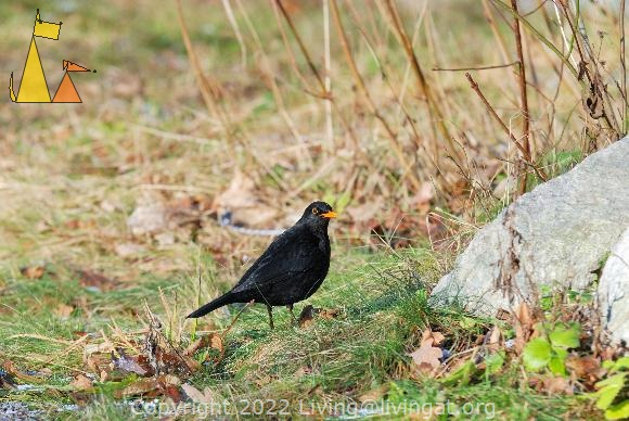 Blackbird, Skansen, Djurgården, Stockholm, Sweden, bird, Common blackbird, Turdus merula, captive