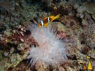 Bleached anemone, Red Sea, Egypt, underwater, coral, anemone, Leather anemone, Heteractis crispa, Red sea anemonefish, Amphiprion bicinctus