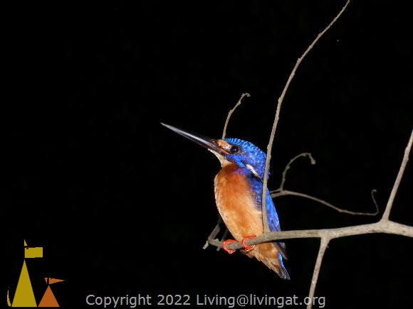 Blue-eared kingfisher, Kinabatangan, Borneo, Malaysia, bird, Blue-eared kingfisher, Alcedo meninting