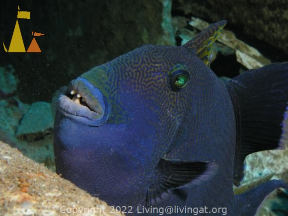 Blue trigger, Red Sea, Egypt, underwater, fish, Blue triggerfish, Rippled triggerfish, Pseudobalistes fuscus