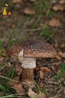 Blusher, Landet, Sweden, mushroom, European Blusher, Amanita rubescens