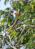 Brown shrike, Pattaya, Thailand, bird, tree, Lanius cristatus, Brown shrike