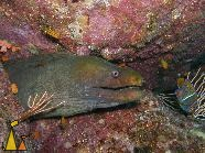 Chestnut Moray at the Cleaners, Isla Coiba, Panama, underwater, fish, moray, Gymnothorax castaneus, Holacanthus passer
