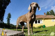 Come on!, Landet, Sweden, dog, Canis lupus familiaris, Doris, Weimaraner, ball, The Grey Ghost