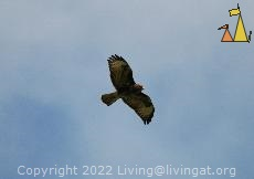Common Buzzard, Angarnsjöängen, Sweden, bird, bird of prey, Common Buzzard, Buteo buteo