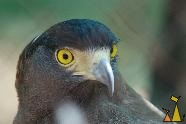 Crested Serpent Eagle, Tamao Wildlife Reserve, Cambodia, eagle, bird, Tamao, Spilornis cheela, Crested Serpent Eagle, captive