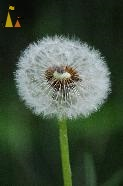 Dandelion ball in green, Landet, Sweden, flower, plant, weed, dandelion, Taraxacum spp, ball, seed, green