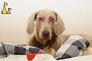 Doris in Bed, Skeppargatan, Stockholm, Sweden, dog, Canis lupus familiaris, Doris, Weimaraner, The Grey Ghost, Skeppargatan 11, ball
