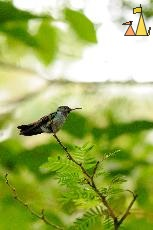 End of Branch, Canopy Tower, Panama, bird, hummingbird, Amazilia amabilis, green, branch