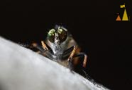 Facet eyes, Landet, Sweden, insect, fly, facet eyes, macro, Common Awl Robberfly, Robberfly, Neoitamus cyanurus