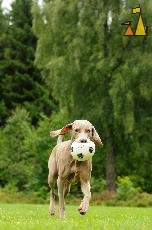 Floppy Ears, Landet, Sweden, dog, Canis lupus familiaris, Doris, Weimaraner, The Grey Ghost, ball, football, ears