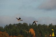 Flying Greylag Goose, Angarn, Sweden, bird, flying, Greylag Goose, Anser anser