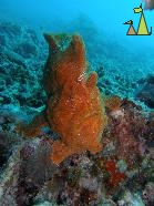 Giant frogfish, Mabul, Borneo, Malaysia, underwater, fish, Giant frogfish, Antennarius commerson, Antennarius commersonii
