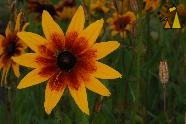 Gloriosa Daisy, Landet, Sweden, orange, flower, Gloriosa Daisy, Rudbeckia hirta