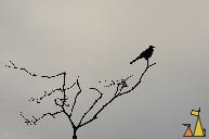 Grackle Silhouette, Boquete, Panama, bird, tree, Quiscalus mexicanus, Great-tailed Grackle, silhouette