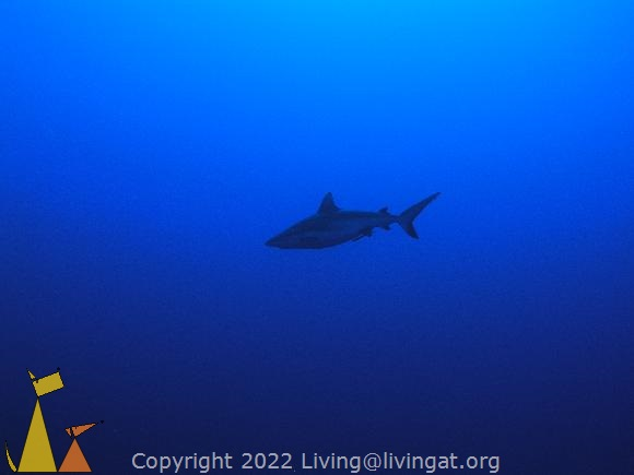 Gray Reef, Brother Island, Red Sea, Egypt, underwater, shark, blue, Gray reef shark, Carcharhinus amblyrhynchos