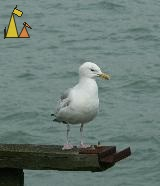 Herring Gull, Brighton, UK, bird, gråtrut, Herring Gull, Larus argentatus