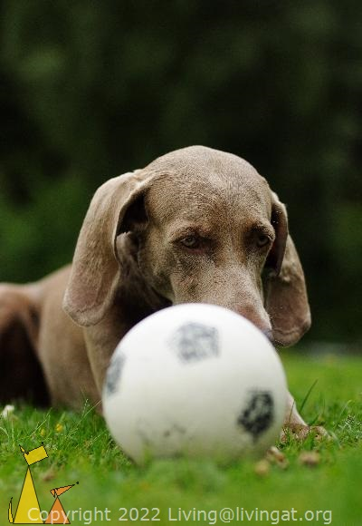 Hiding behind the Ball, Landet, Sweden, dog, Canis lupus familiaris, Doris, Weimaraner, The Grey Ghost, football, grass
