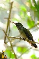 Hummingbird Close-up, Canopy Tower, Panama, bird, hummingbird, Amazilia amabilis, stick