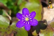 Kidneywort, Angarn, Stockholm, Sweden, plant, flower, blue flower, Kidneywort, Hepatica nobilis, macro