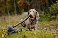 Large toothpick, Landet, Sweden, dog, Canis lupus familiaris, Doris, Weimaraner, The Grey Ghost, toothpick, fall, autumn