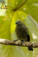Leaf Shade, Canopy Tower, Panama, bird, Thraupis palmarum, Palm Tanager, green