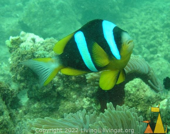 Madagascar Anemonefish, Nosy Ve, Madagascar, underwater, fish, Madagascar Anemonefish, Amphiprion latifasciatus