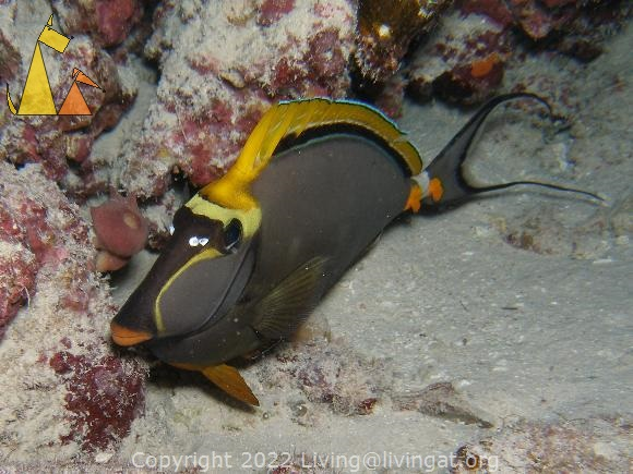 Orangespine unicorn, Red Sea, Egypt, fish, underwater, Orangespine unicornfish, Naso lituratus