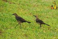 Pair of Grackles, Panama City, Panama, bird, Quiscalus mexicanus, green , grass, lawn
