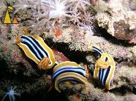 Pyjama slugs, Red Sea, Sudan, underwater, nudi, Pyjama slug, Chromodoris quadricolor