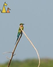 Resting Blue-tailed Bee-eater, Stung Sankor, Cambodia, bird, Merops philippinus, Blue-tailed Bee-eater