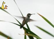Ruby-throated Hummingbird, Black Dog, Minneapolis, USA, bird, flying, Ruby-throated Hummingbird, Archilochus colubris