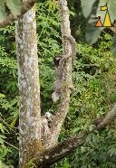 Sloth Climbing a Tree, Canopy Tower, Panama, mammal, Bradypus variegatus, Brown-throated Sloth, tree, climb