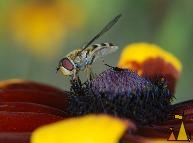 Syrphus ribesii, Landet, Sweden, insectm fly, Syrphus ribesii, Rudbeckia hirta