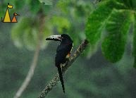 Twisted head, Cannopy Tower, Panama, bird, Guinness, Collared Aracari, Pteroglossus torquatus