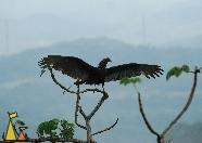 Vulture Spreading it's Wings, Canopy Tower, Panama, bird, black, Cathartes aura, Turkey Vulture, treetop