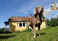 Waiting for some action, Landet, Sweden, dog, Canis lupus familiaris, Doris, Weimaraner, summer house, blue sky, The Grey Ghost
