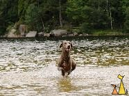 Watersports, Landet, Sweden, dog, Canis lupus familiaris, Doris, Weimaraner, The Grey Ghost, water, running, speed